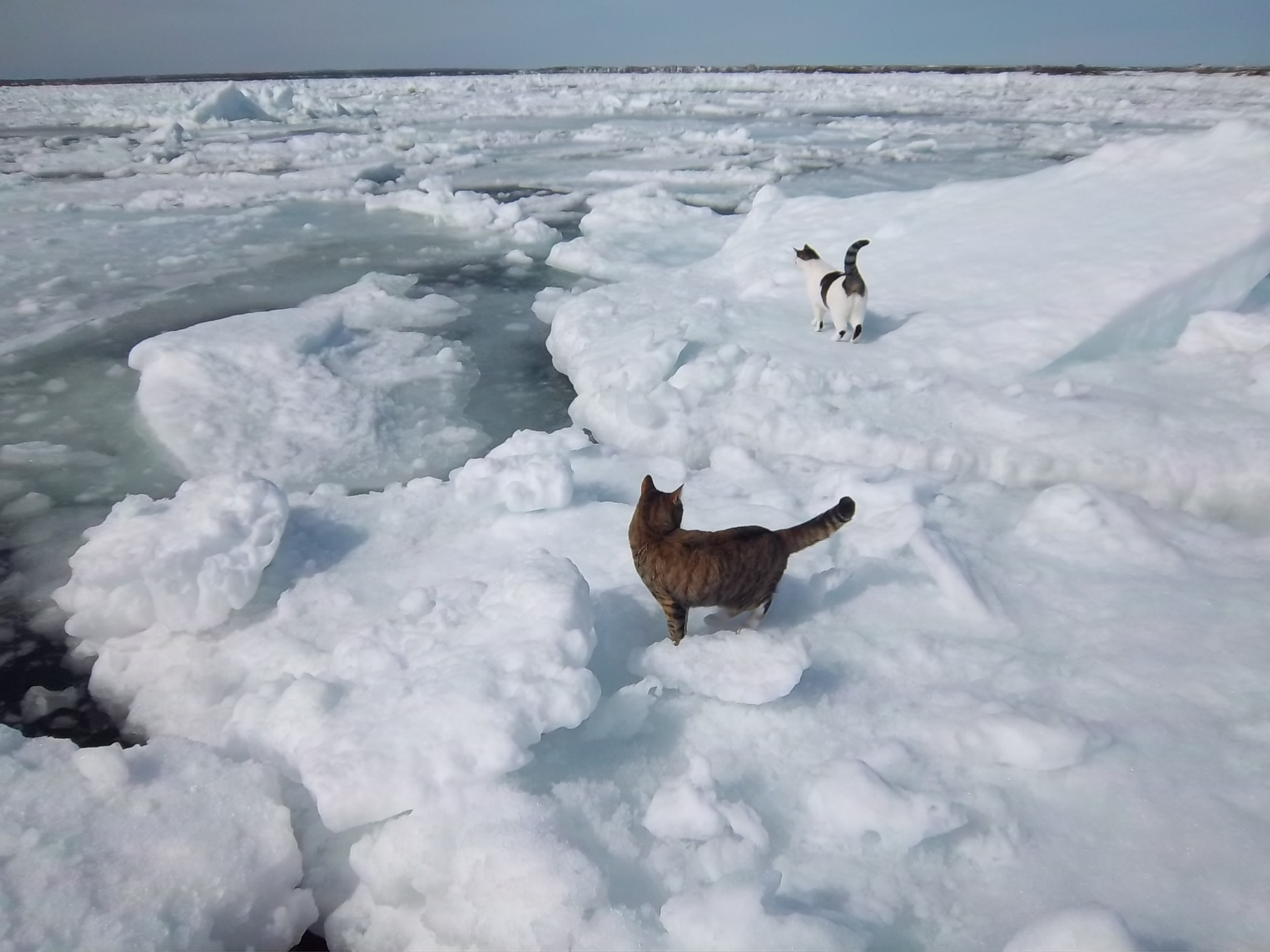 Cats on Ice: Exploring Spring Thaw in Iceberg Alley