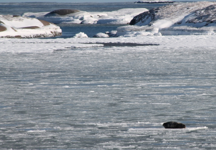 harp seal on ice
